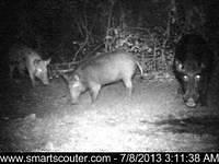 The Wild Boar of New Orleans